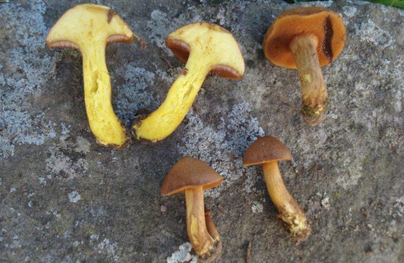 Мякоть перечного гриба