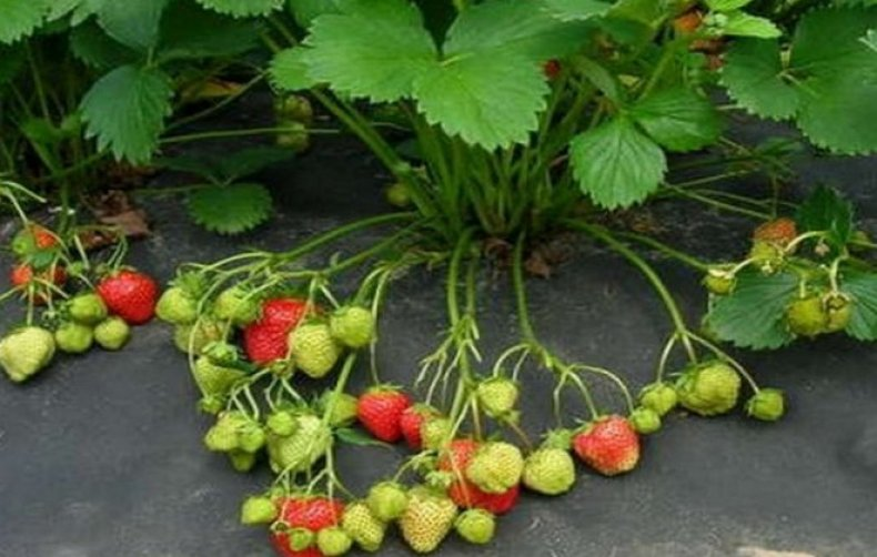описание, сорт, садовый, земляника, ранний, крупноплодный