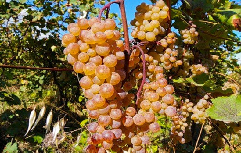виноград ркацители