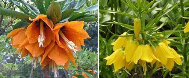 Цветок рябчик посадка и уход