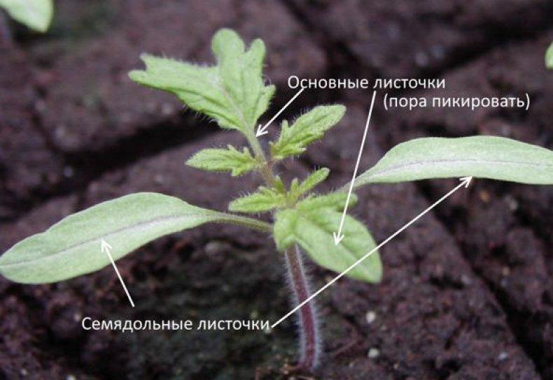 Листочки томатов