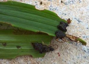 Поражение лилиевым жуком