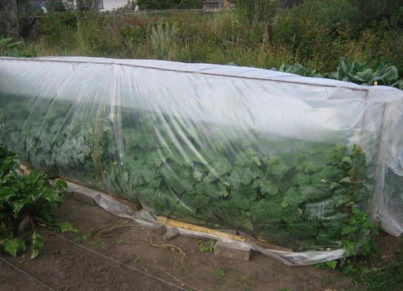 Выращивание огурцов под полиэтиленом