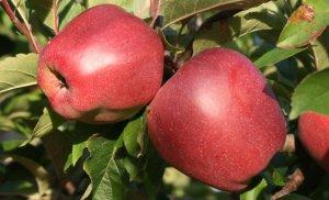 вредитель, яблоня, защитить, пакостный, насекомое, ранней весною