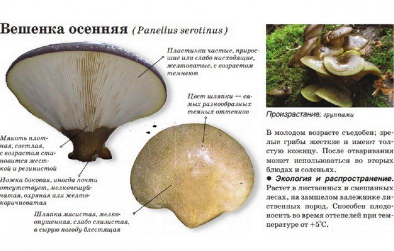 перепончатые грибы с описанием и фото несложно оформить