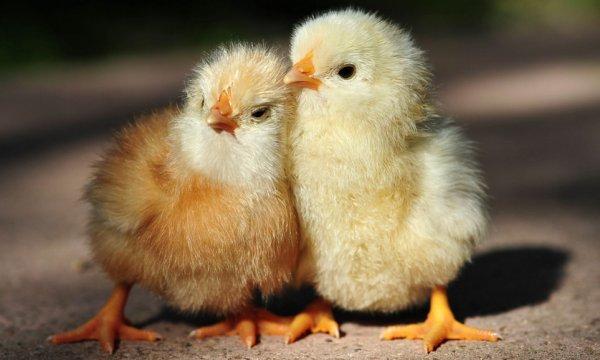 Симптомы и методы лечения кокцидиоза у цыплят