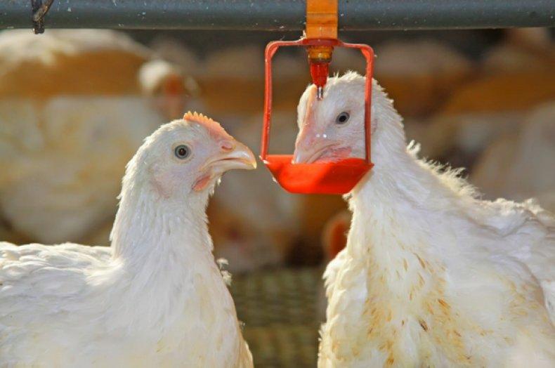 Выпаивание кур
