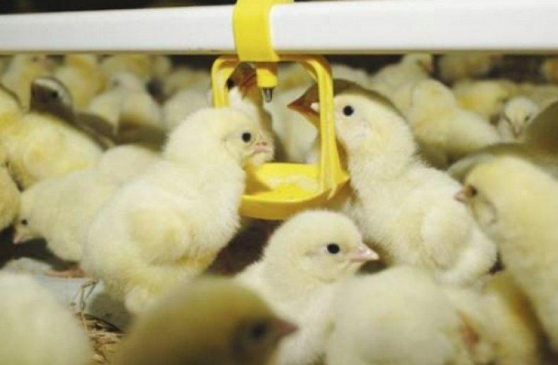 пропаивание цыплят «Чиктоником»