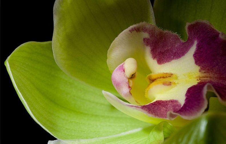Орхидея Шэньчжэнь-Нонгке