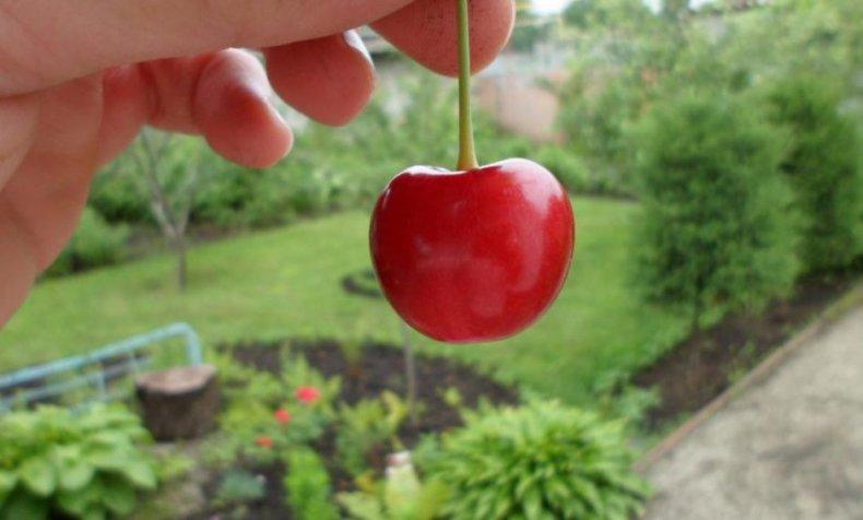 Сорт черешни «Василиса»