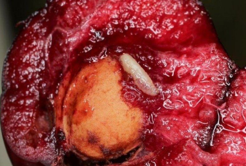 Личинка вишневой мухи