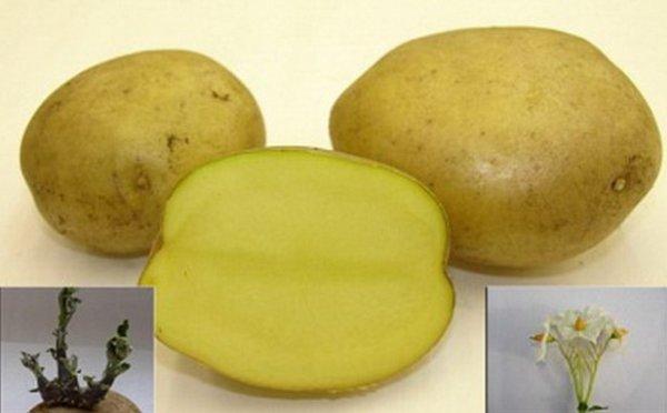 Картофель метеор, описание сорта с фото и отзывами