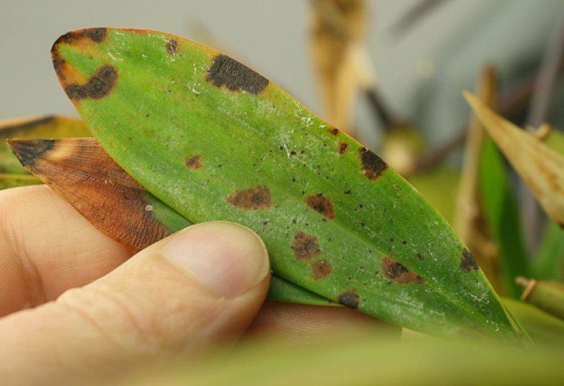 Бактериальная пятнистость листьев