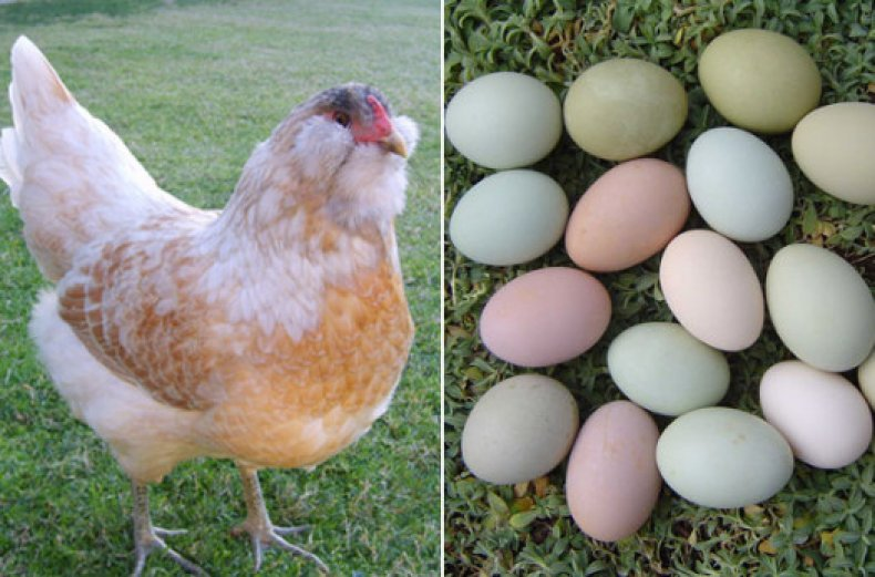 Яйца кур породы Амераукана