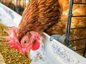 Курица кушает отруби
