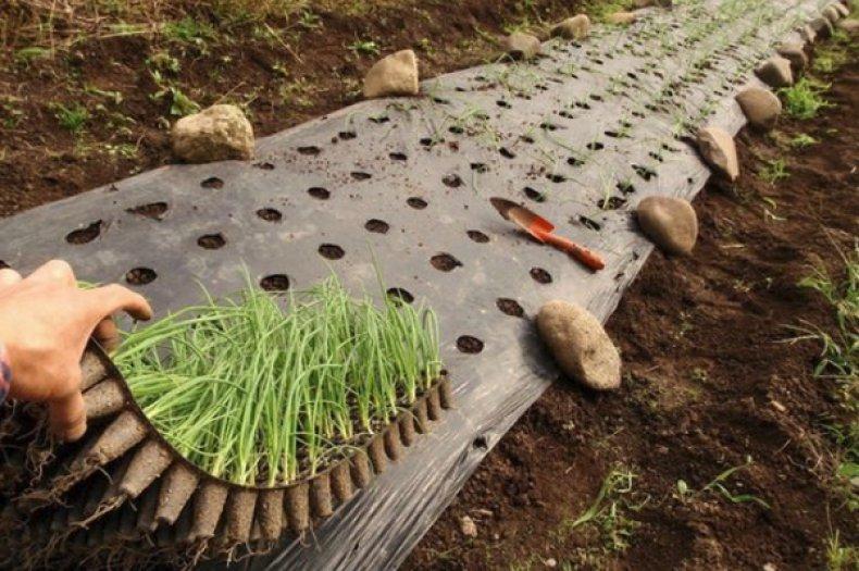 Высадка рассады лука