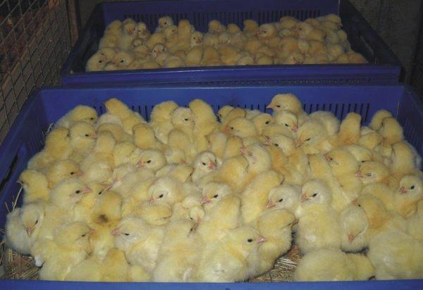 Перевозки цыплят в автомобиле, тележке и ящике для транспортировки и перемещения домашней птицы