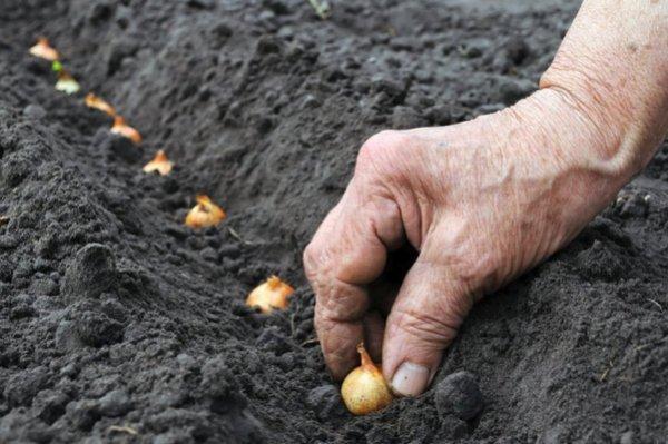 Когда сажать чернушку на севок в открытый грунт 98