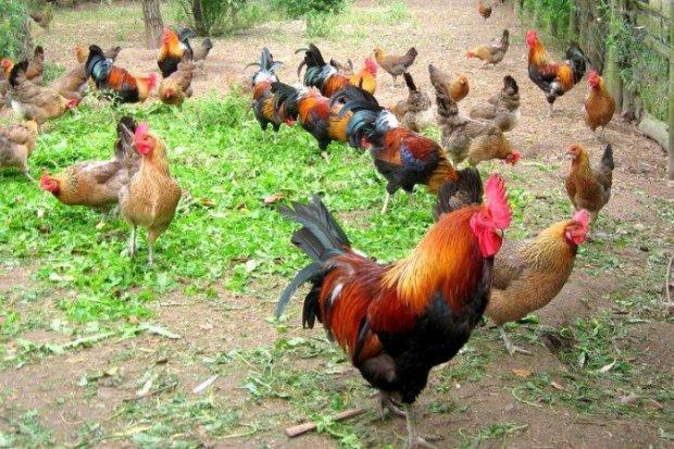 Кормление домашних кур - Своя ферма 22