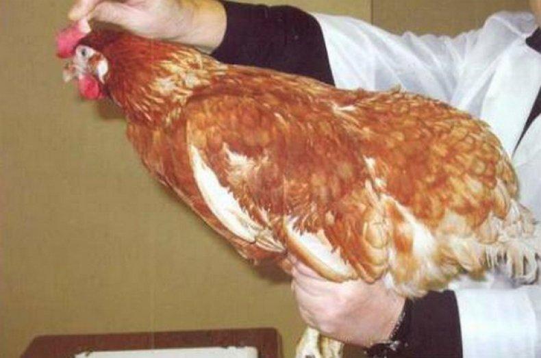 Обследование курицы