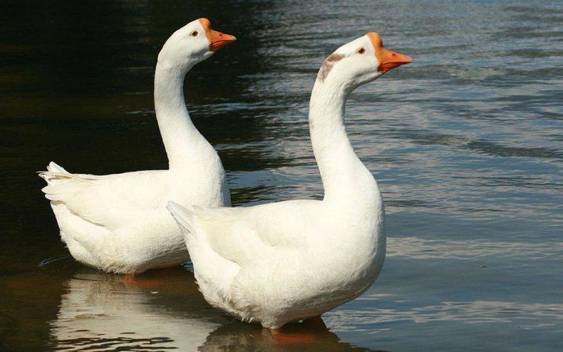 Китайские гуси белые