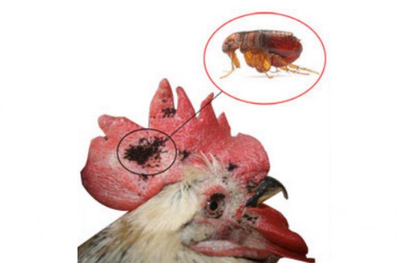 Блохи в курятнике как бороться с паразитами, чем обработать курятник от блох для профилактики