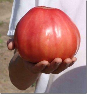 Плоды очень крупные, по этому куст нельзя подвязывать, чтобы помидоры не оторвались