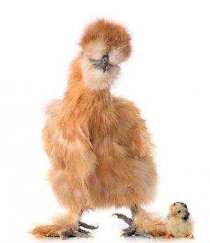 Лохмоногая курица