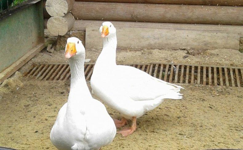 Арзамасская порода гусей