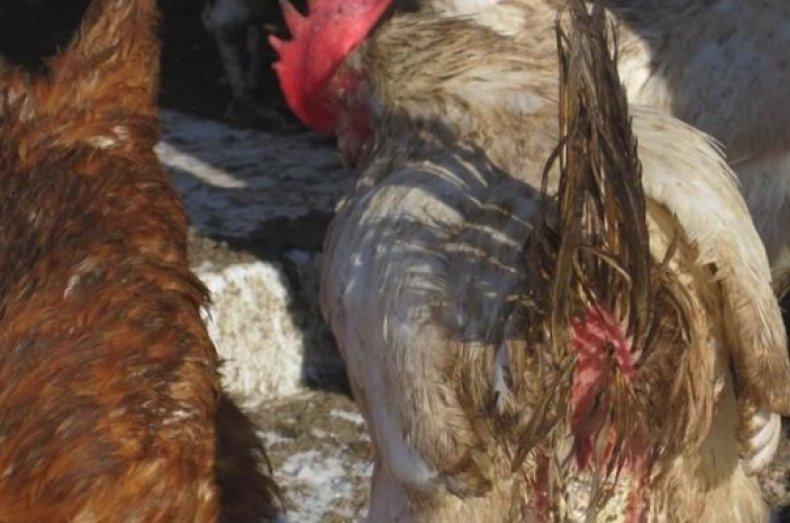Гельминты у курицы