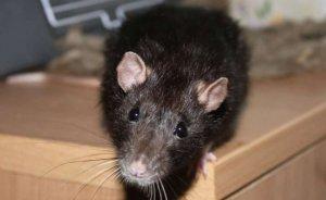 как защитить курятник от крыс