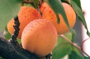 Ждать первые плоды нужно не меньше 3 лет