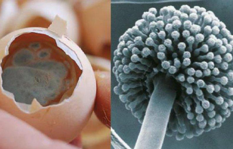 Аспергиллез у кур (аспергиллез птиц) возбудитель, симптомы и лечение