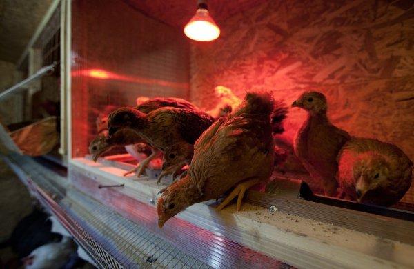 Как обогреть цыплят лампой