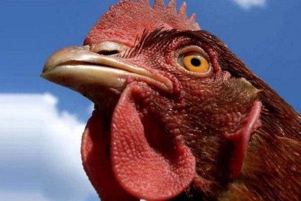 Какого цвета глаза у цыплят