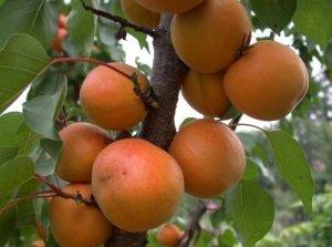 Название сорта пошло от большого размера плодов