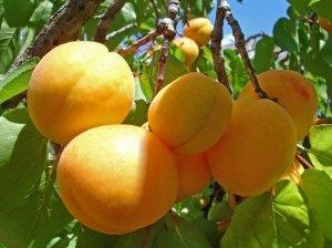Урожайность сорта небольшая, из-за маленьких размеров абрикос