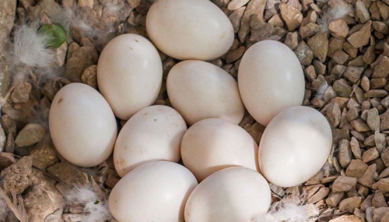 Башкирская утка описание породы, фото, яйценоскость, достоинства и недостатки