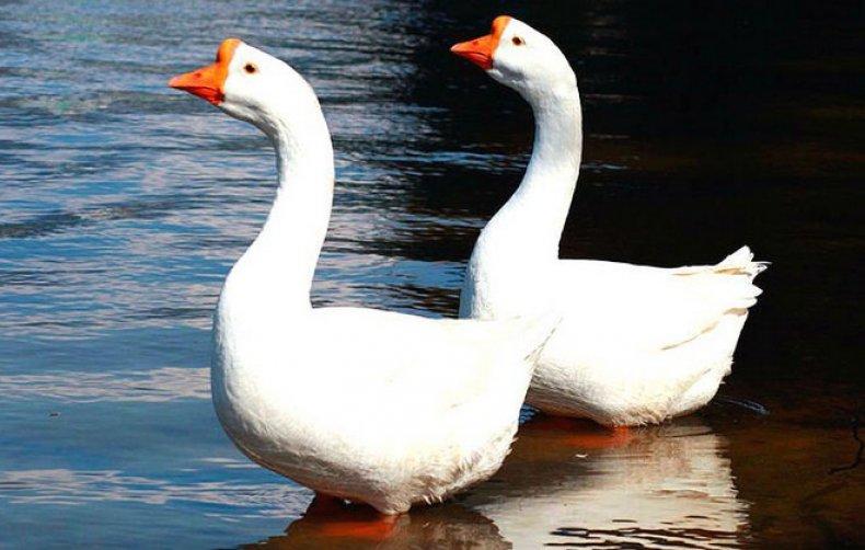 Китайская порода гусей