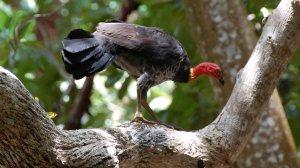 сорный, курица, описание, фото, обитание, размножение