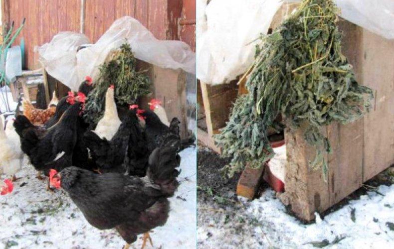 кормление, зима, яйценоскость, содержание, уход