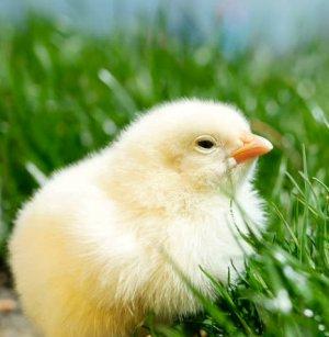 когда можно давать цыплятам лук