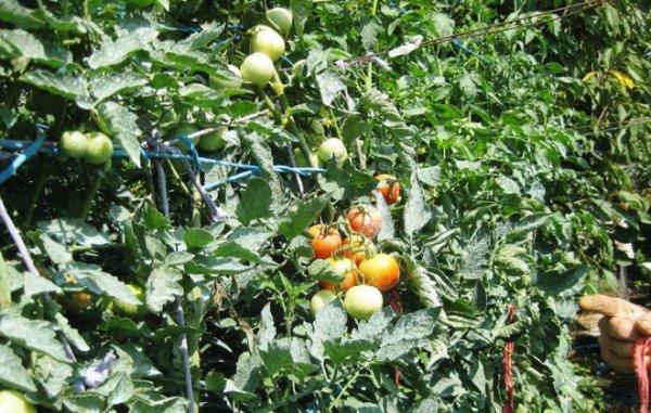 Выращивание томатов яблонька россии 17