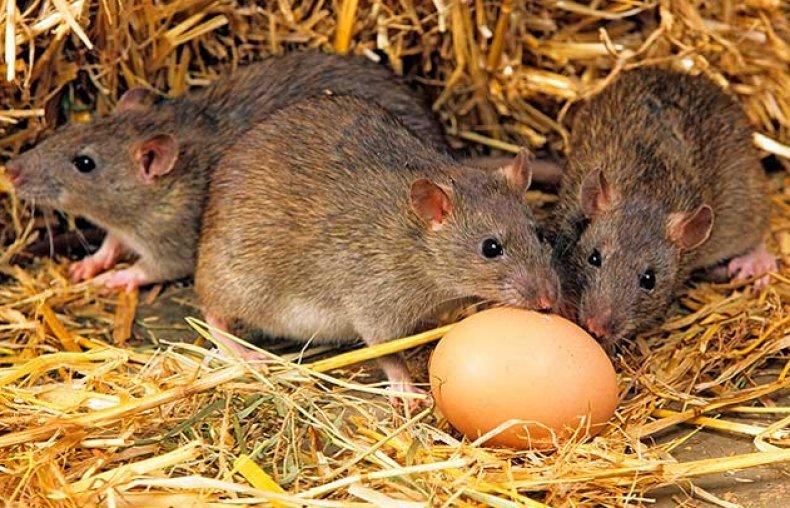 Крысы в курятнике