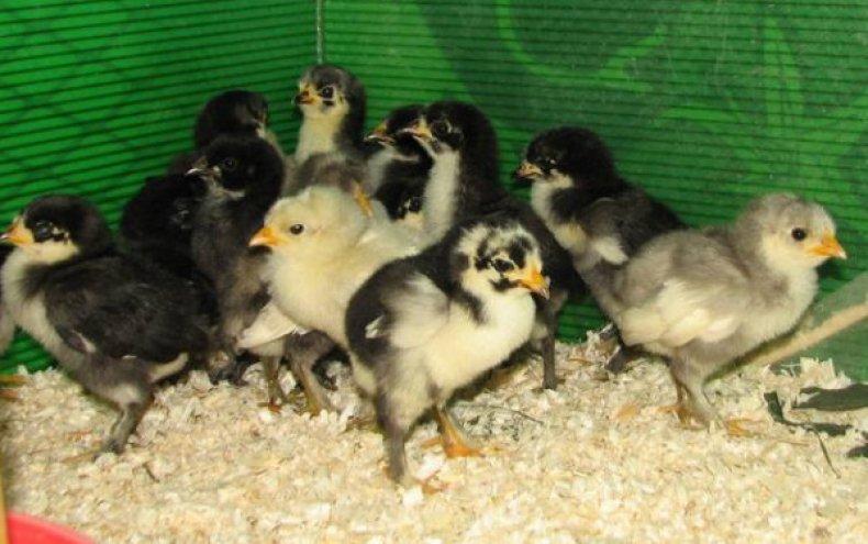 Цыплята лангшан