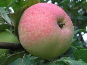 Яблоки имеют характерный красный румянец