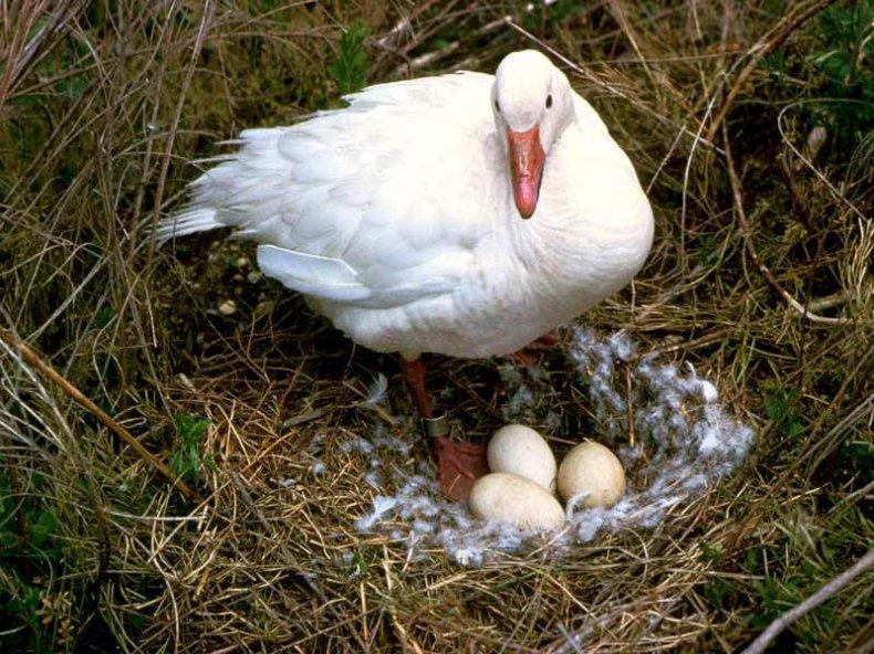 хранение, гусиный, яйцо, инкубация