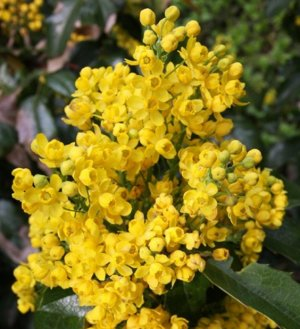 Маhonia aquifolia