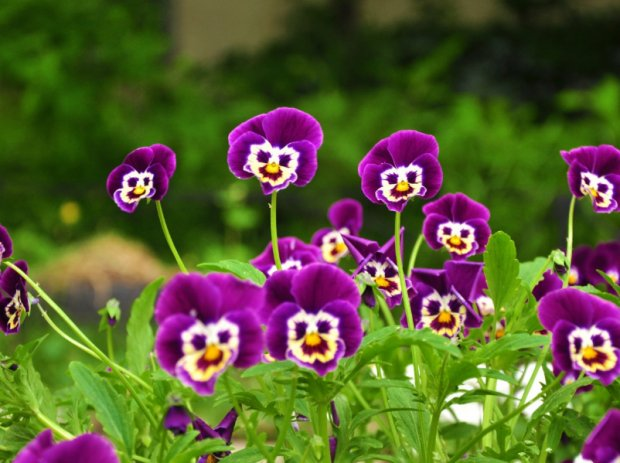 Виола цветы выращивание из семян осенний посев 66