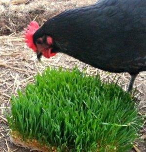 Кормить кур травой